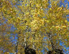 2011 Tilleul Cerisier